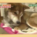 平愛梨も思わず微笑む静電気大好きな柴犬/ShibaInu